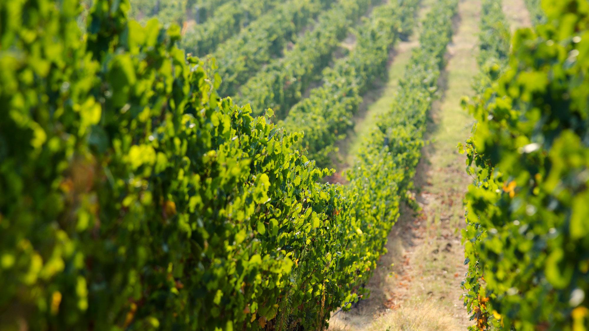 Дрождите влияят много върху аромата на виното