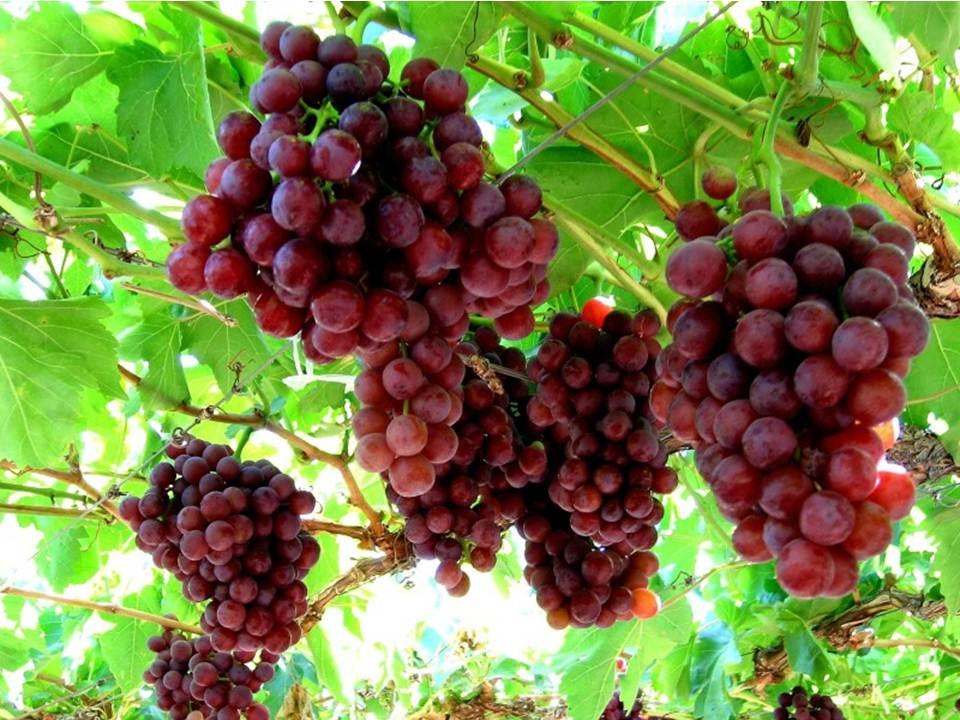 Десертни червени сортове