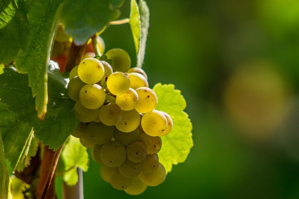 Световните винени сортове