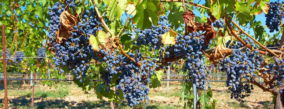 Edoardo Miroglio grape