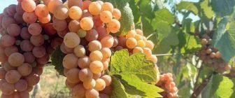 За произхода на някои сортове грозде