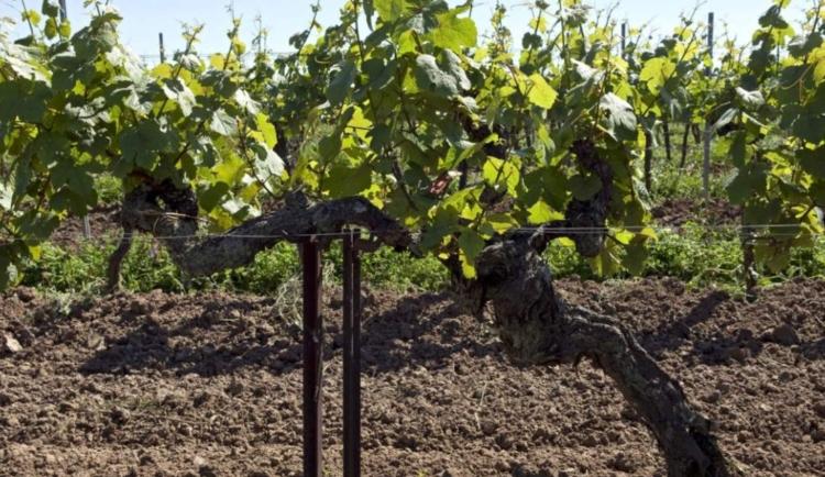 Най-старото лозе в света, което все още ражда грозде е в Германия