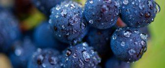 Есенният гроздобер зависи от времето