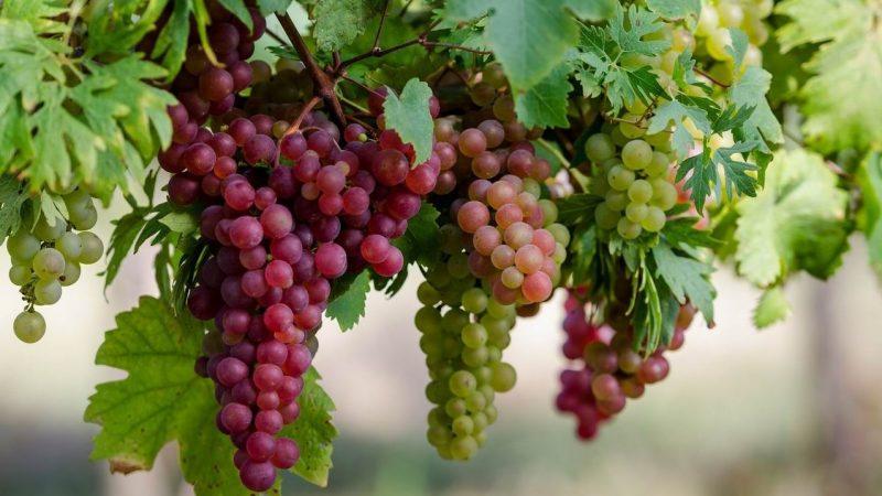 Защо сортовете грозде имат значение